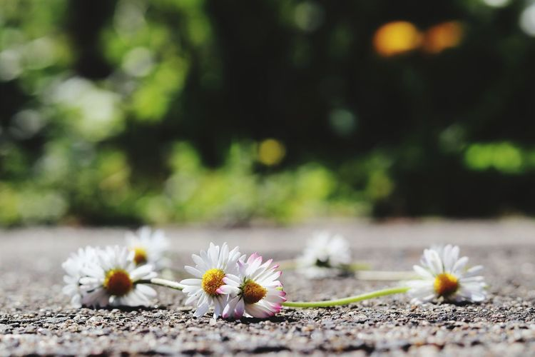 Gänseblümchenkranz Frühlingsgefühle Garden Defocused Uncultivated Petal Dandelion Stamen Daisy In Bloom Plant Life Flowering Plant Cosmos Flower Botany