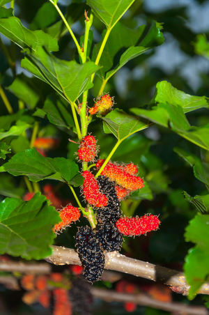 Mulberry fruits Beauty In Nature Berry Fruit Close-up Day Food Food And Drink Freshness Fruit Green Color Growth Healthy Eating Leaf Mulberry Mulberry Fruit Mulberry Tree Nature No People Outdoors Plant Raspberry Red