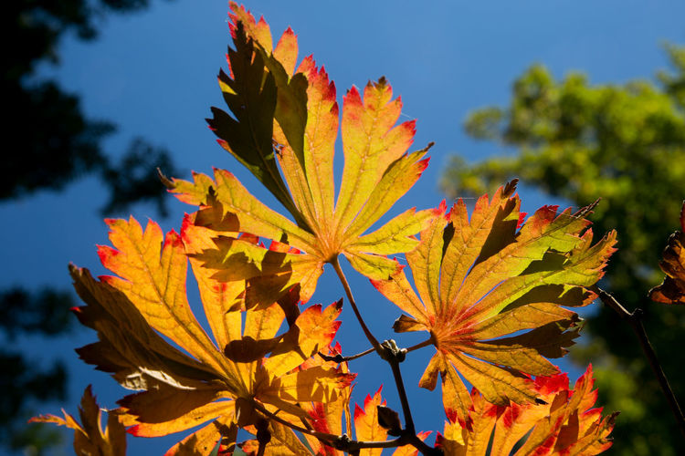 Close-up of yellow maple leaf on tree during autumn