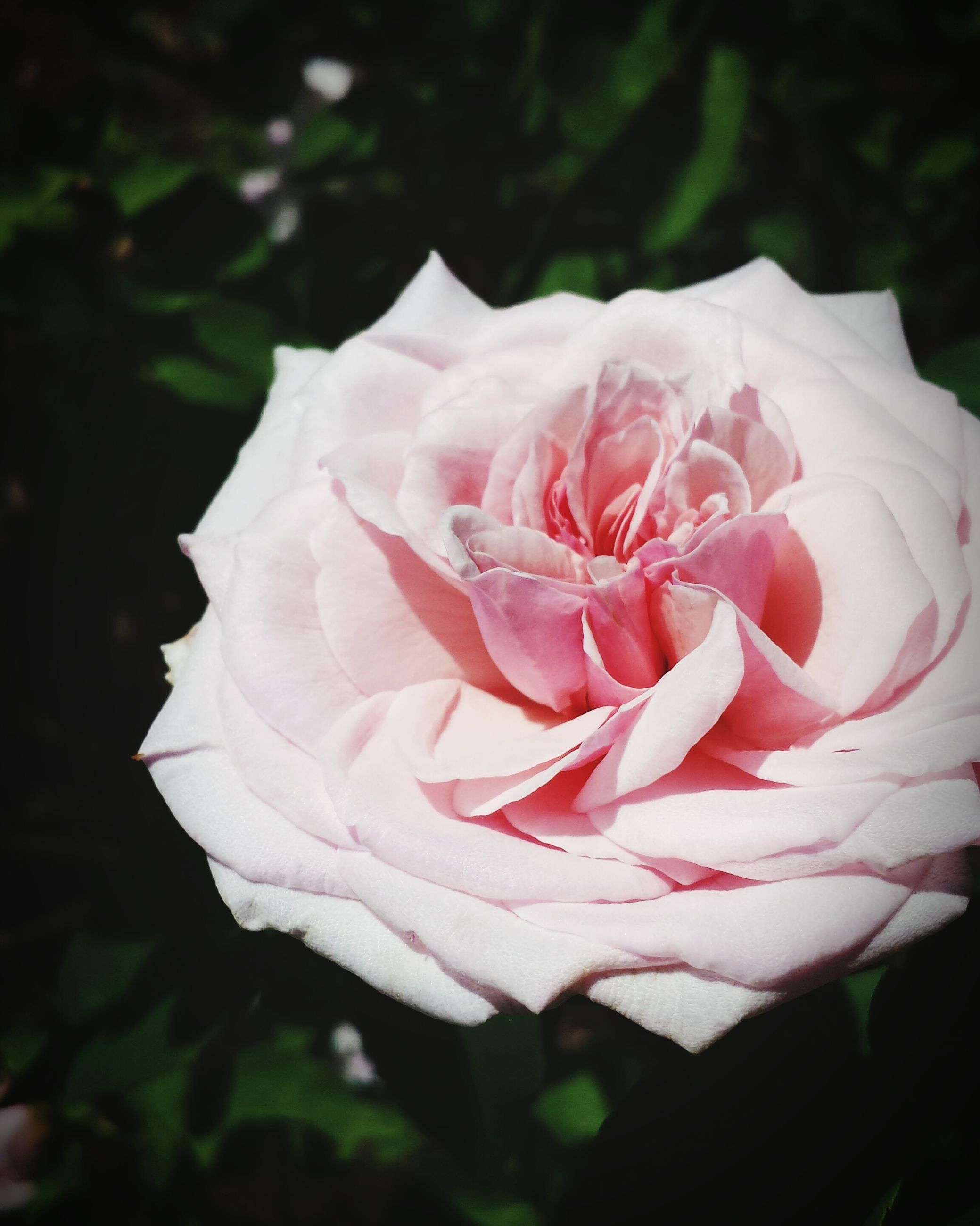 flower, petal, flower head, fragility, freshness, rose - flower, beauty in nature, single flower, close-up, growth, blooming, nature, focus on foreground, pink color, rose, in bloom, single rose, white color, plant, blossom