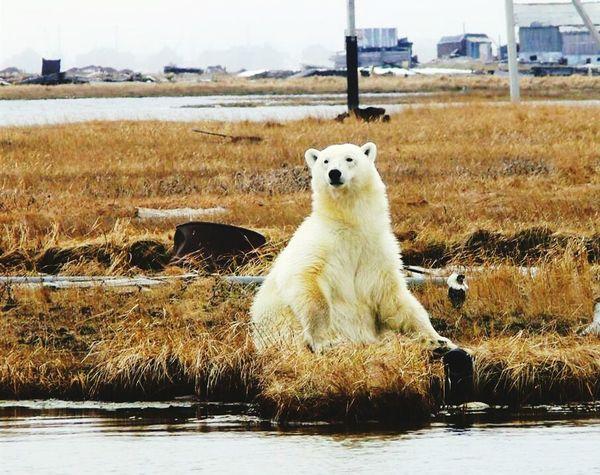 Polar bear Animal Themes Mammal One Animal Nature Water Outdoors Scenics Boom Shaka Laka Tranquility Nature Building Exterior Landscape Beauty In Nature Natural Phenomenon City No People Illuminated Idyllic