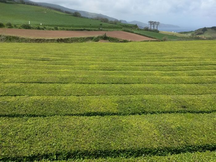 Field Agriculture Crop  Farm Rural Scene Beauty In Nature Tea Crop Tea Farm Azores, S. Miguel