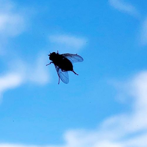 Low angle view of fly flying against blue sky