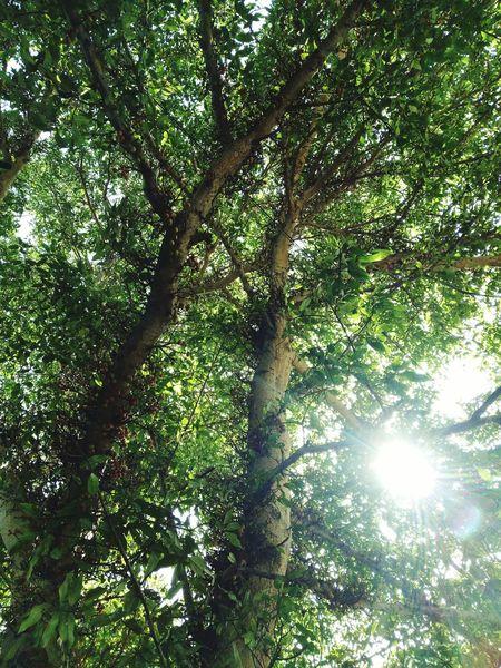 Nature Fig tree with sun light Taking Photos Alandur Chennai