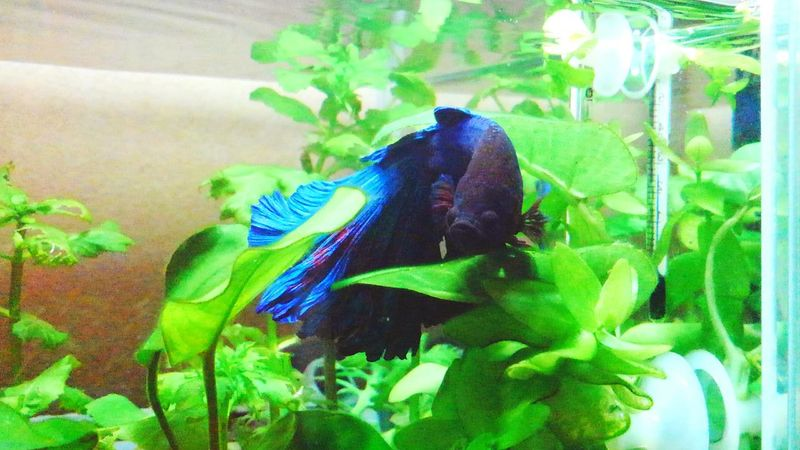 my lovely bettafish Betta  Betta Splendens Bettafish Bettafishcommunity One Animal Animal Themes Green Color Animals In The Wild No People Aquarium Plant Water Nature Underwater Day
