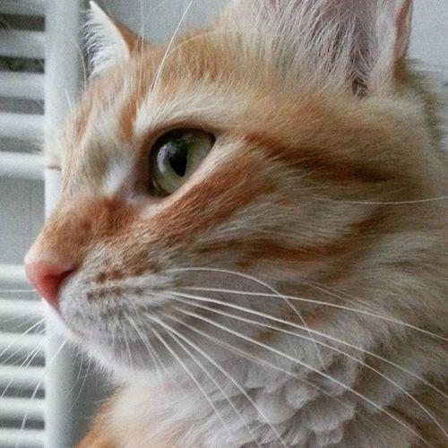 La mia tigre da compagnia! Picoftheday Sophie Cat Catsagram Instacat Tiger MyTiger Mycat Purrfect Cuddles Micia Red