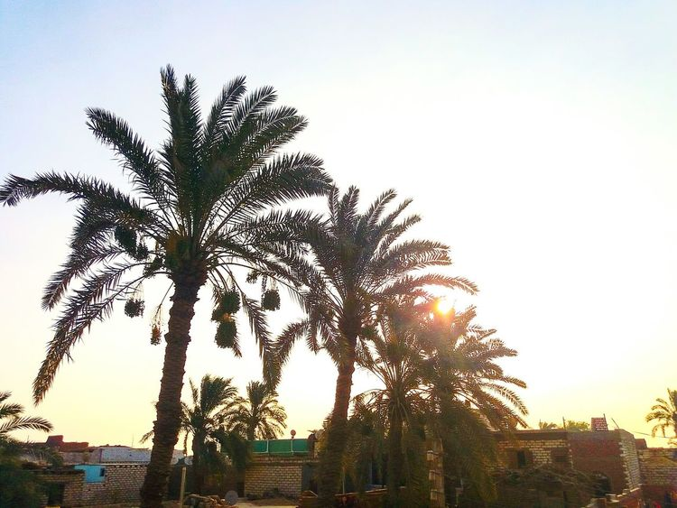 That's where we used to see palm trees popping even in thr middle of homes. Palm Egyptphotography Egypt Palmtree Palm Leaves Sky Countryside Green Upperegypt Brown Garden Home Home Is Where The Art Is Home Decor Home Interior Sun Sunrise Sunshine Sunbeam Date Palm Tree Date Dates Photographic Memory Homesick  Tall