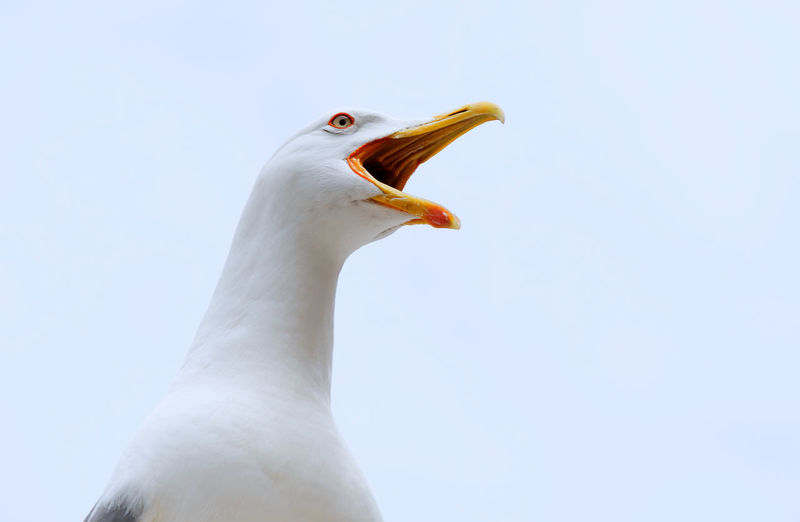 Animal Themes Animal Bird Animal Wildlife Animals In The Wild One Animal Sky Clear Sky White Color Close-up Low Angle View Nature No People Beak Day Seagull Looking Away Animal Body Part Animal Head  Mouth Open Profile View Indignation Crying Cry