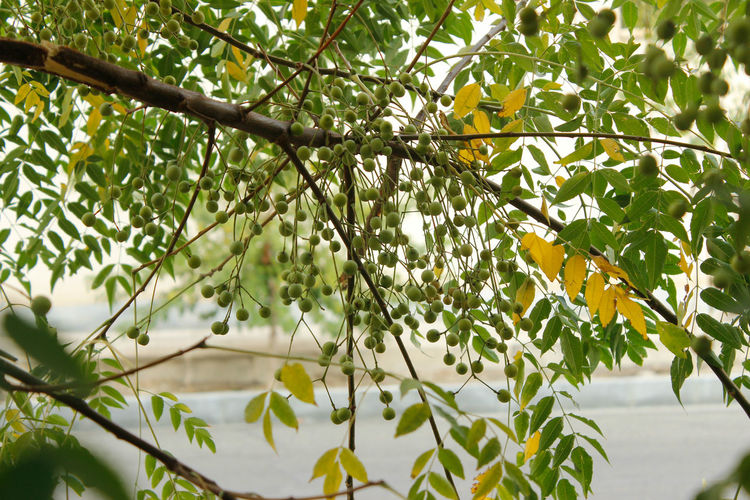 Beauty In Nature Branch Close-up Day Flowering Plant Focus On Foreground Food Freshness Fruit Green Color Growth Healthy Eating Leaf Low Angle View Nature No People Outdoors Plant Plant Part Tree