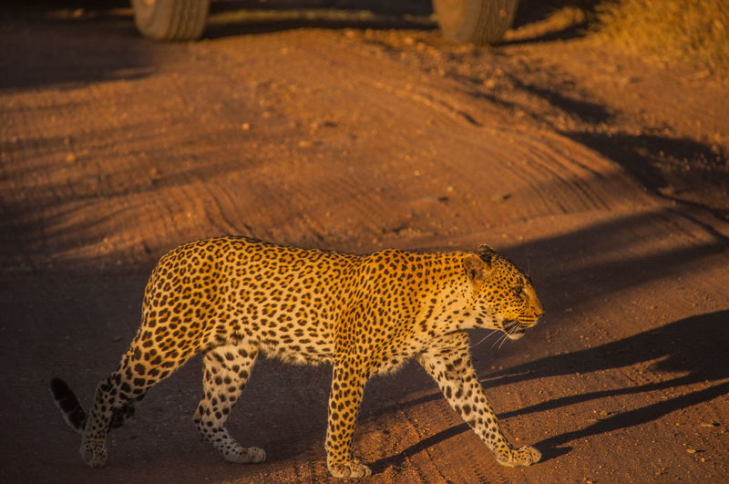 Side View Of Leopard Walking At Serengeti National Park