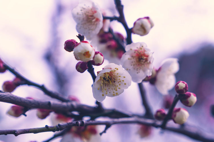 Spring plum blossoms Plum Blossom Spring Flower Growth Close-up Nature Beauty In Nature Plant Flowering Plant Vulnerability  Fragility Freshness Focus On Foreground Flower Head Branch Tree Selective Focus No People Twig Blossom Springtime Day Outdoors Pollen