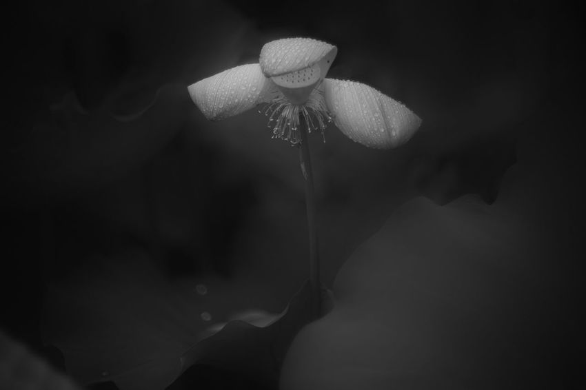 Part II: Broken... Shades Of Grey Light And Shadow Blackandwhite Monochrome Lotus