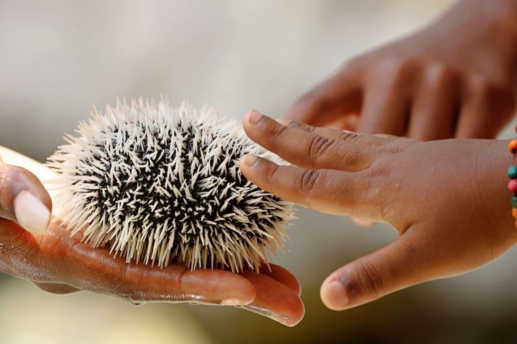 Cropped hands of people touching sea urchin