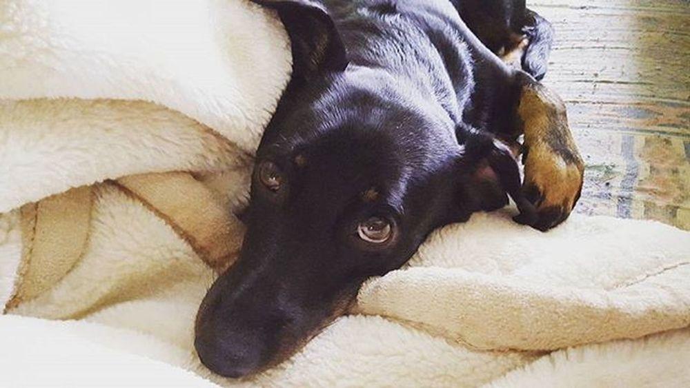 Please follow me @majeczka871 Dog Dogeyes Dogmodel Doginstagram Instadog Photodog Dogphoto Doginsta Pies Piesinst Bestdogmodel Majapies Maja Dogsofinstagram Dogstagram Blackdogsofig Ig_dogphot Doglife Doglifestyle Ig_dogphot Cutedog Dog_of_instagram