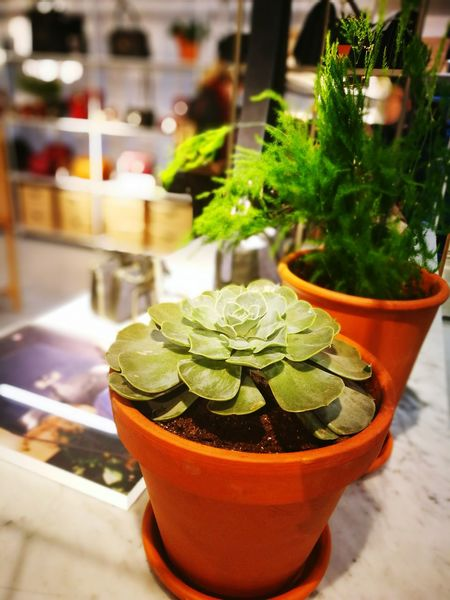 Indoors  Succulents Succulent Plants SucculentsLover Green Greenery Plants 🌱 Freshness No People Nature Store Interrior First Eyeem Photo