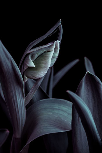Fine Art Photograph of a green tulip Colour Creative Art Canoneos 50mm F1.8 Fine Art Fine Art Photography Tulip Canon Finearts Black Color Black Background Dark No People Studio Shot Close-up Indoors