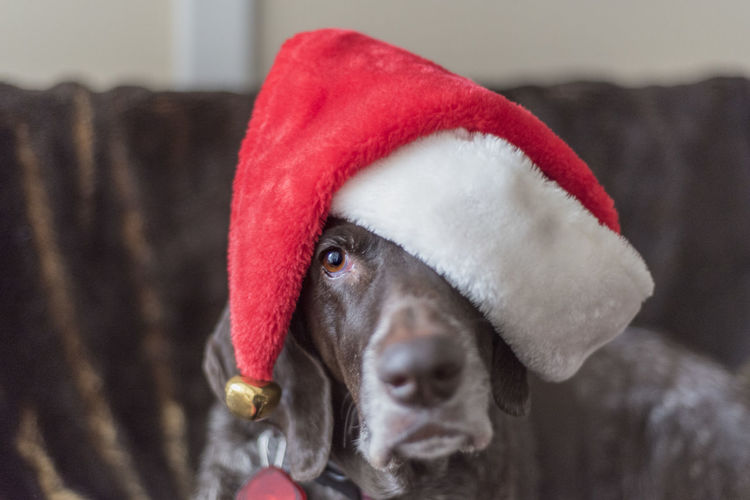 Close-up of dog in santa hat