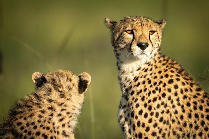 Close-up of cheetah and cub sitting down