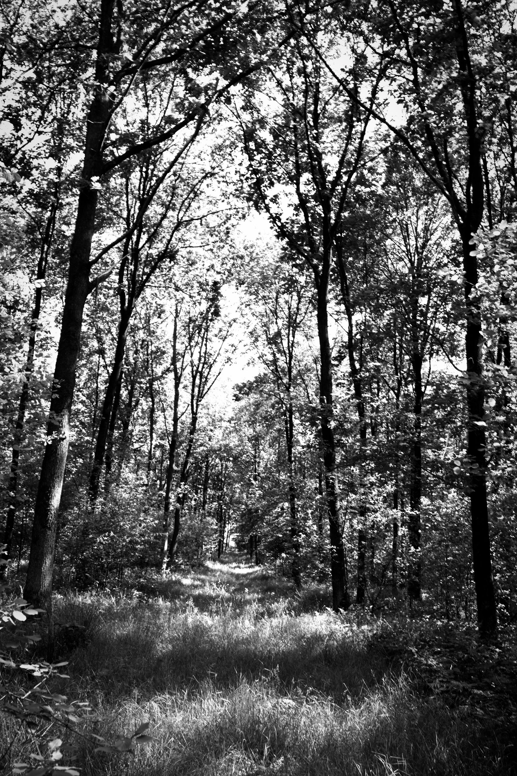 tree, plant, land, black and white, tranquility, forest, nature, beauty in nature, tranquil scene, growth, monochrome photography, no people, natural environment, monochrome, day, non-urban scene, scenics - nature, tree trunk, woodland, trunk, landscape, environment, outdoors, branch, sunlight, the way forward, leaf, sky, idyllic, field