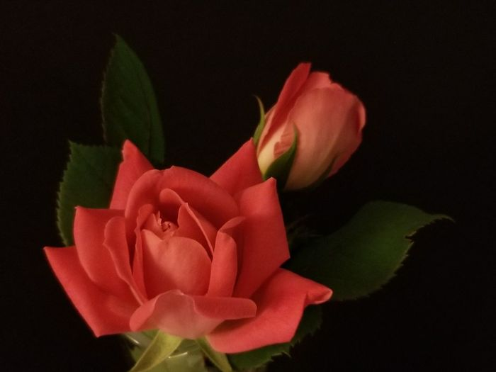 Rose Bud & Bloom Beauty Pink Roses Love Fine Art Photography Interior Decorating Simple Beauty Hearts Valentine's Day  Dark Pink Petals Sharp Focus Nature Indoors Beauty Indoors Advertisement Lowlightphotography Summer Red Roses Black Background Flower Red Studio Shot Petal Rose - Flower Close-up Plant In Bloom Blooming Blossom