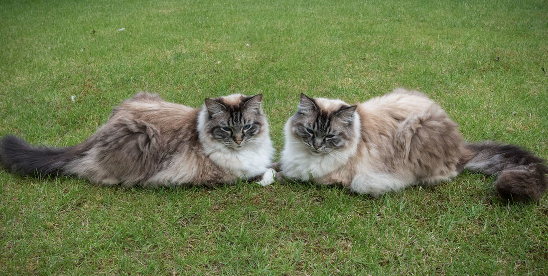 Two Ragdoll Cats Laying Together Outdoor Portrait. Friends Animal Themes Day Domestic Cat Feline Field Friendship Grass Laying Down Longhaired Cats Mammal Nature No People Outdoors Pedigreecats Ragdoll Cat Relaxation Togetherness Two Animals Two Cats On The Floor