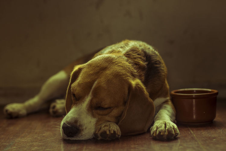 Animal Pets Sleeping Dog One Animal No People Indoors  Mammal Portrait Animal Themes Light And Shadow Relaxation Beagle Sleeping Dog SleepingBeagle Brown Cute Purebred Dog Canine Tired Young Animal Domestic Animals Friendforever