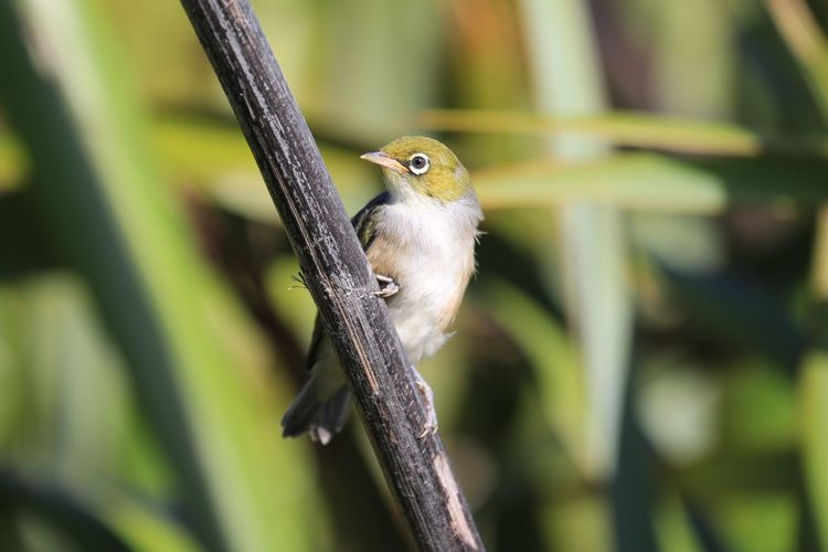 Silvereye (Zosterops lateralis) One Animal Animal Themes Bird Animals In The Wild Animal Wildlife Perching Nature Day No People Outdoors Close-up Nature Silvereye Waxeye New Zealand Scenery New Zealand