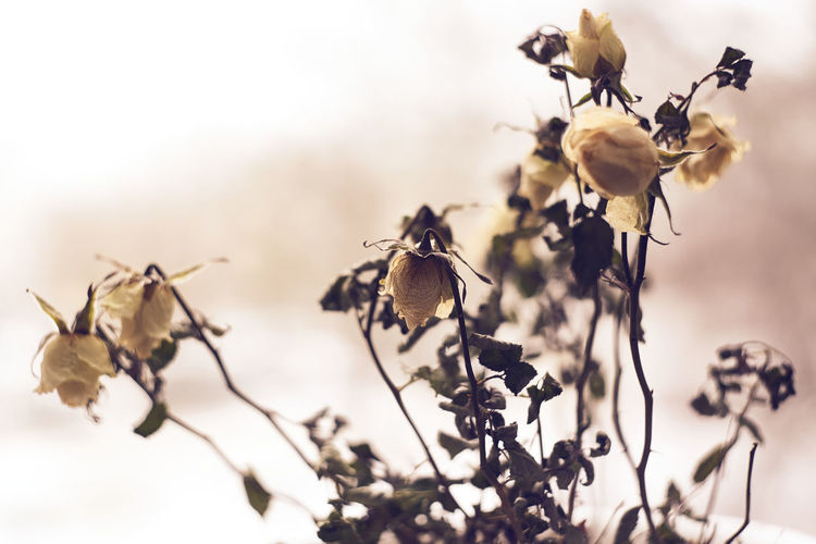 Close-up of wilted roses plant