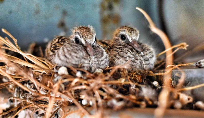 นกเขา Bird Animal Wildlife Young Bird Animals In The Wild No People Owl Outdoors Mourning Dove Close-up Nature Animal Themes Day