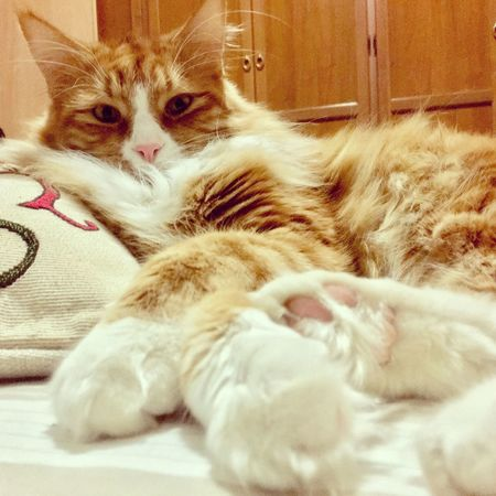 Nature Pets Domestic Cat Domestic Animals Feline Maincoon Kitten Love Simba gatto Gatti My Cat
