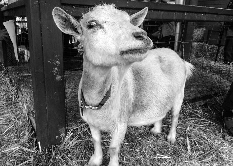 Walking Around Fair Hello World Animals Goat Farm Funny Enjoying Life Portrait Of A Friend This goat had her eye on me and seemed to enjoy the camera!