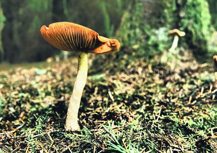 Deceiver mushroom Mushroom Fungus Deceiver Mushroom Forest Woodland Mushroom Woodland Floor Laccaria Focus On Foreground Beauty In Nature Deep In The Woods Pine Needles Wood Walk Freshness Growth Outdoors