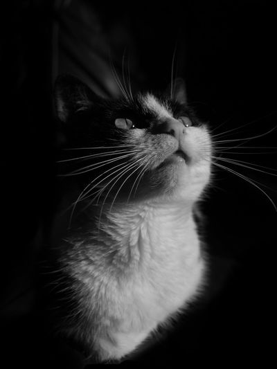 Cute cat Kitten's Domestic Cat Pets Domestic Animals Feline Whisker Catoftheday Cat Lovers Cat Black And White Cat Kitten Kittens Of Eyeem Kitten Adorable Lowkeyphotography Blackandwhite Studio Shot Black And White Collection  Black And White Portrait Fineartportrait Lowkey  Cat Black And White.