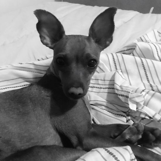 Mini Pinscher Mini Pincher One Animal Domestic Animals Pets Dog Domestic Canine Looking At Camera Small