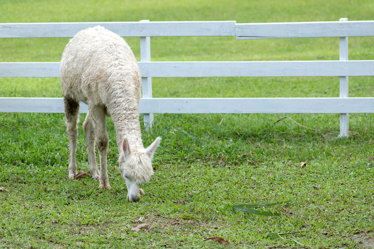 one llama grazing on grass field Animal Themes Animal Domestic Animals Grass Livestock Barrier Boundary Mammal Domestic Fence Pets Field Green Color Vertebrate One Animal Agriculture Plant Land No People Animal Wildlife Herbivorous Outdoors Ranch Landscape Petting Zoo