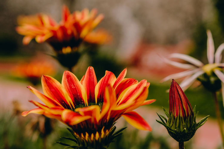 Flores anaranjadas en primavera Flowering Plant Flower Vulnerability  Fragility Freshness Plant Beauty In Nature Growth Petal Flower Head Inflorescence Close-up Orange Color Focus On Foreground Nature Botany No People Day Pollen Selective Focus Gazania
