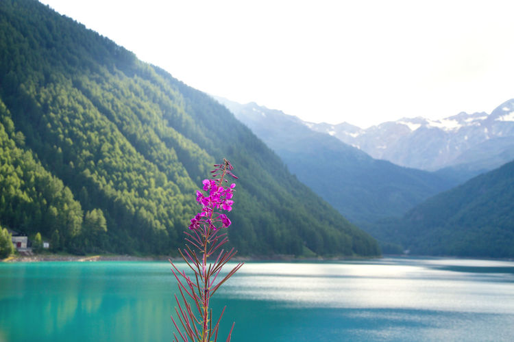 Pink Flowers Blooming In Front Of Lake By Mountains Against Clear Sky