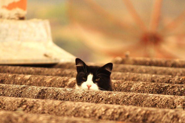Black White cat