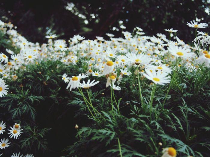 Daisy Flowerporn Flower Garden