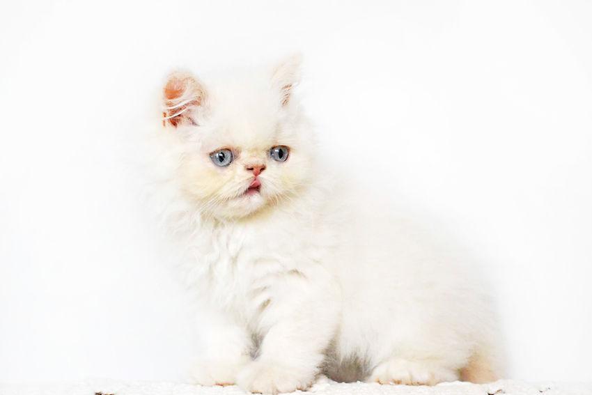 Lord Aries Cat Animal Animals Beautiful Cat Cats Cute Domestic Animals Domestic Cat Feline Himalayan Kitten Kittens Kitty Lovely One Animal Persian Pet Pets