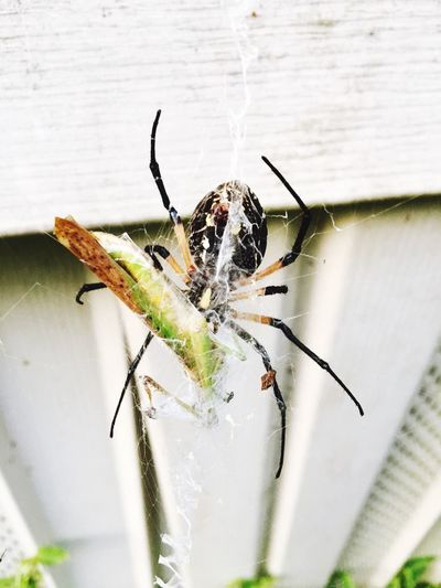 Perspectives On Nature Animals In The Wild Animal Themes Spider Insect One Animal Animal Wildlife No People Day Close-up Outdoors Nature At Work Wrapping A Grasshopper. I Think That Spider's Are Beautiful And Patient Creatures. Patients Finally Pays Off