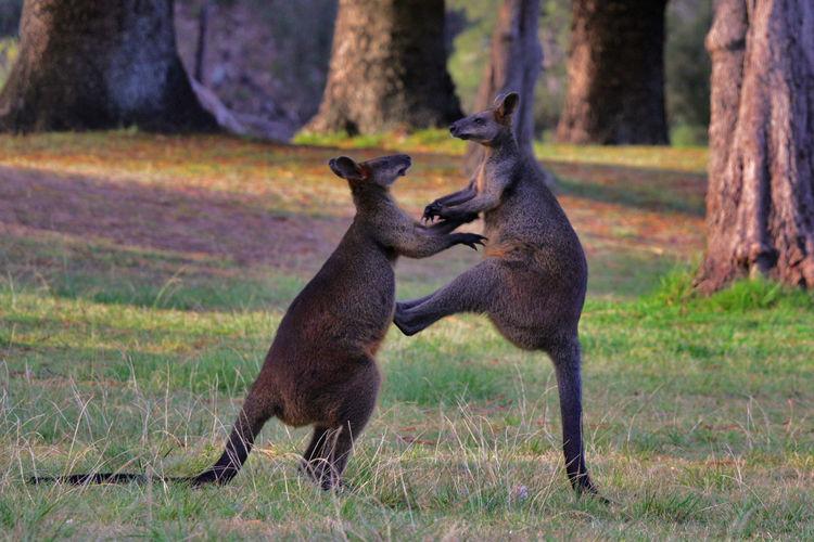 Two wild kangaroos / wallabies fighting in australia