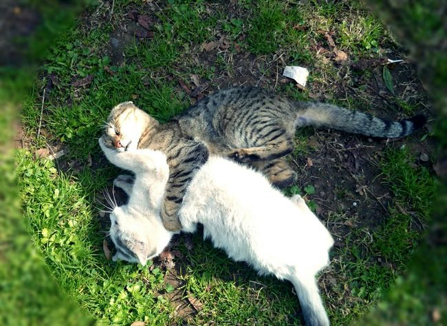 Catcatcat Cutepets Kedi Aşkı Kedi