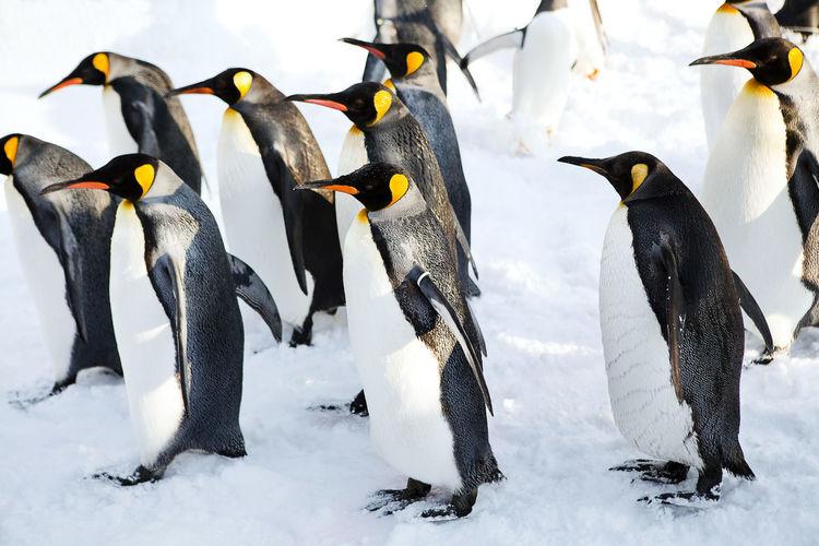 King penguin walking on the snow at azahikawa zoo, hokkaido japan