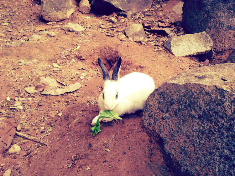 Animal Themes Sand One Animal High Angle View Beach Domestic Animals Day Animals In The Wild Nature Outdoors Mammal No People Animal Wildlife Bird Pets Close-up Eating Vagetable Rabbit Eating Animals In The Wild Cute Rabbit ,bunny Rabbit Face Pet Life  Animal Cute