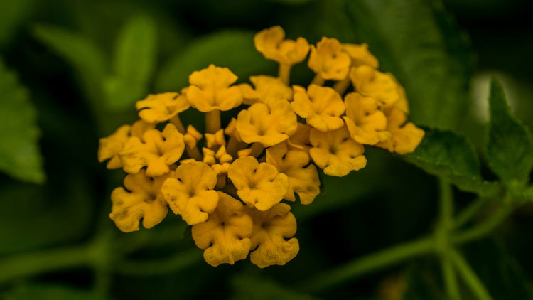Tiny Yellow Flowers Nature Nature Photography Beauty In Nature Blooming Close-up Flower Flower Head Fragility Freshness Growth Nature No People Outdoors People Petal Plant Yellow Yellow Flowers Yellow Petals