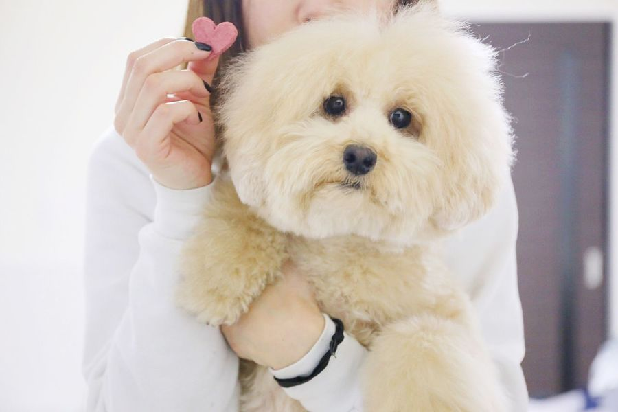 Valentine Day Valentine's Day  Cute Pets DogLove Toypoodle I Love My Dog My Toypoodle Poodle Love Happy Valentine's Day Cutedogs