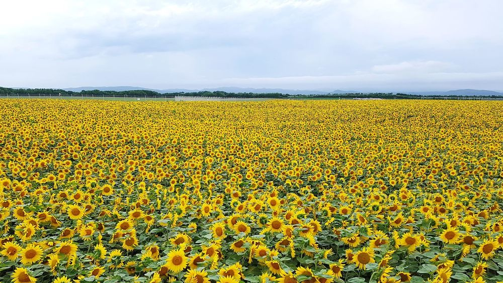 Sunflower field in Ozora town, Memanbetsu, Hokkaido during summer season. Agriculture Crop  Field Rural Scene Cloud - Sky Growth Farm Sky Yellow Freshness Nature Beauty In Nature Outdoors Day Flower No People Backgrounds Landscape Multi Colored Sunflowers Summertime Summer Hokkaido,Japan Travel