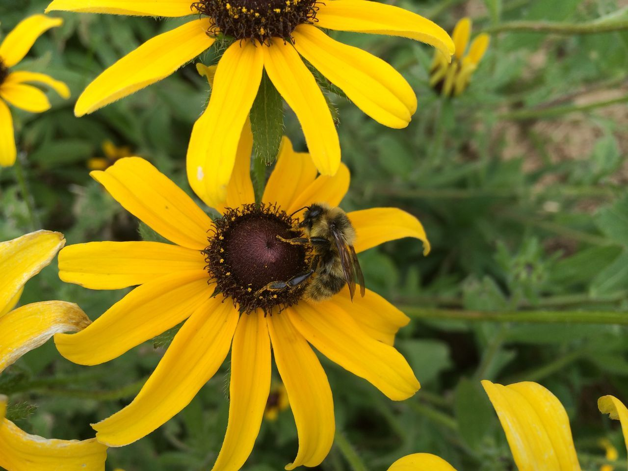 flower, yellow, fragility, petal, insect, one animal, bee, animal themes, nature, growth, animals in the wild, flower head, plant, focus on foreground, outdoors, no people, beauty in nature, day, freshness, animal wildlife, pollination, close-up, blooming, black-eyed susan