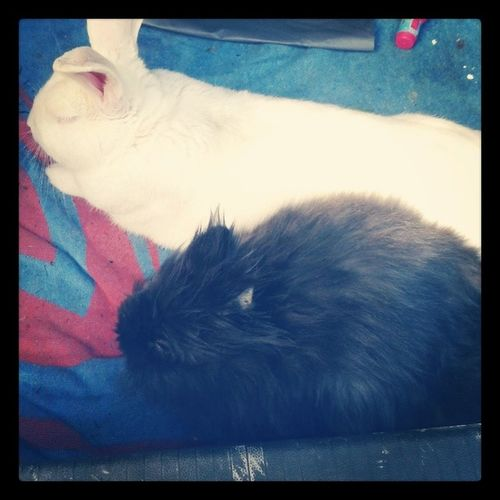 Nuove amicizie dal veterinario :) Fiocco Giantbunny Muffin Babybunny lionhead friends